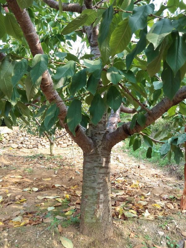 陕西大樱桃树