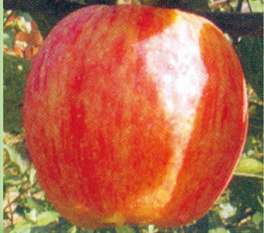 大连信浓红苹果