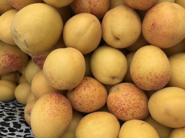 大连荷兰香杏