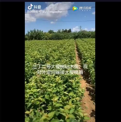 烟台兰丁二号大樱桃砧木苗